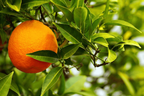 Three Outstanding Health Benefits of Citrus Aurantium (Bitter Orange)